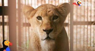 Circus Lion Can't Wait To Be Reunited With Her Cubs | Dodo Heroes