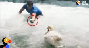 Man Rescues Baby Swan and Reunites Him With Mom | The Dodo