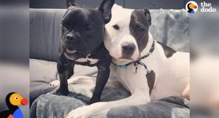 Rescue Pit Bull Takes Care of His Tiny Foster Dog | The Dodo