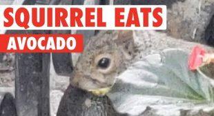 Squirrel Munches on Avocado