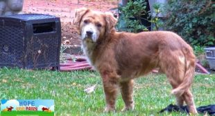 Abandoned Golden mix was so scared and now he needs your help.
