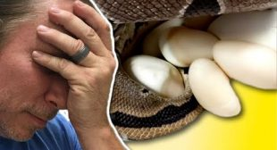 DISASTER CLUTCH OF SNAKE EGGS!! | BRIAN BARCZYK