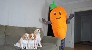 Funny Dogs vs Giant Carrot Prank! Funny Dogs Maymo, Potpie & Penny