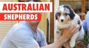Breed All About It: Australian Shepherds