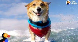 Corgi Can't Stop Smiling When He's Surfing – JOJO | The Dodo