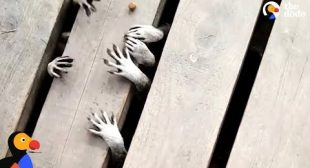 Raccoons Have The Cutest And Creepiest Lil Paws   The Dodo