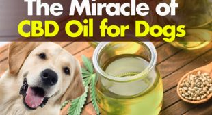 The Miracle of CBD Oil for Dogs