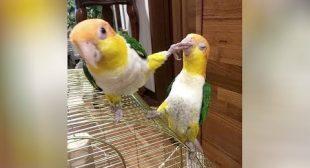 Wanna LAUGH? BIRDS will NOT DISAPPOINT YOU! – Funniest BIRD VIDEOS