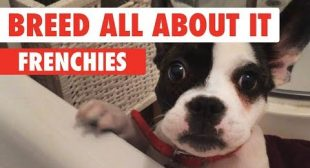 Breed All About It: Frenchies
