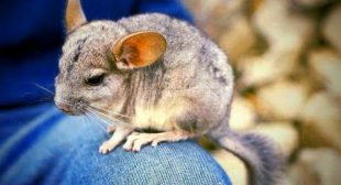 Funny Chinchilla 🐭Funniest and Cutest Chinchillas (Part 1) [Funny Pets]