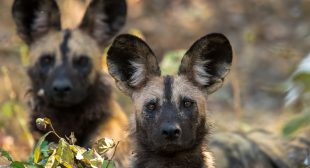 Painted wolves: my favourite animal