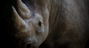 China should uphold its bans on tiger bone and rhino horn permanently