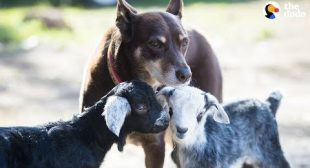 Dog Helps Her Mom Take Care Of All The Animals At Their Sanctuary – RUBY | The Dodo