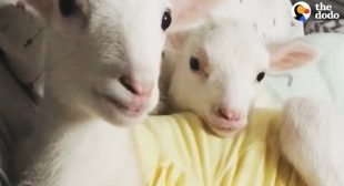 Rescued Lambs Dance Together When They're Happy   The Dodo