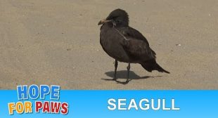 Seagull tangled in fishing line and a rubber around his neck is rescued!