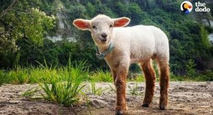 Cuddly Baby Lamb Thinks He's A Puppy – ZUKO | The Dodo