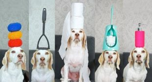 Dog Balances 100 Household Items on Head: Funny Dog Maymo Tricks
