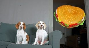 Dogs vs. Giant Cheeseburger Prank: Funny Dogs Maymo & Potpie