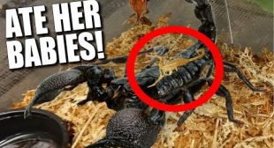 MY SCORPION ATE HER BABIES!!! WHY?? | BRIAN BARCZYK