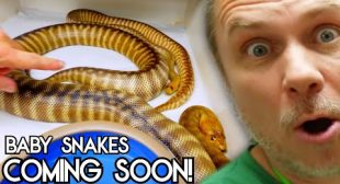 BABY SNAKES ON THE WAY!! | BRIAN BARCZYK