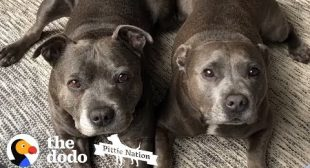 5 Things You Know if You Own A Pit Bull | The Dodo Pittie Nation
