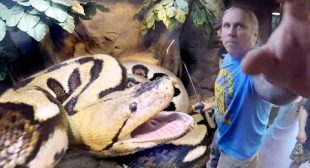 GIANT PREGNANT SNAKE VERY UPSET!! CLOSE CALL!! | BRIAN BARCZYK