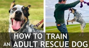 How to Train The First Things To An Adult Dog (Pay Attention, Distraction Training…)