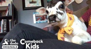 This Perfect Little Baby Is Called A ZEBU | The Dodo Comeback Kids