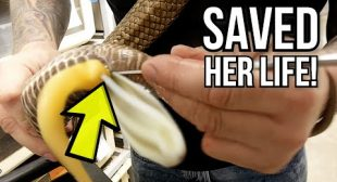 EGG BOUND SNAKE!! SAVING HER LIFE!! | BRIAN BARCZYK