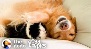 Guinea Pig Follows His Favorite Golden Retriever EVERYWHERE | The Dodo Odd Couples