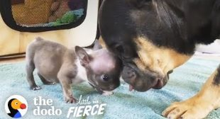 Watch this 1-Pound Bulldog Puppy Grow Up to Have the Most Amazing ROLLS | The Dodo Little But Fierce