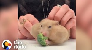 Hamsters Stuffing GIANT Foods In Their Cheeks | The Dodo