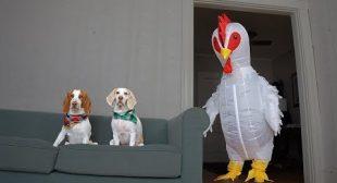 Dog vs Giant Chicken Prank: Funny Dogs Maymo, Potpie & Penny