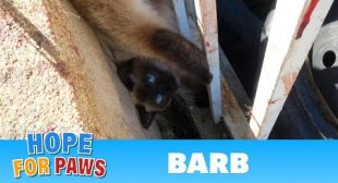 Razor wire almost kills a Siamese cat who was hanging upside down by her tail.