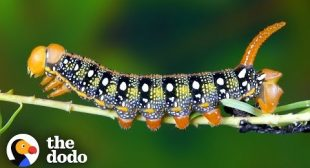 Watch This Caterpillar Turn Into A Hawk-Moth | The Dodo