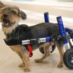 Rescue Yorkie Takes First Steps to New Home