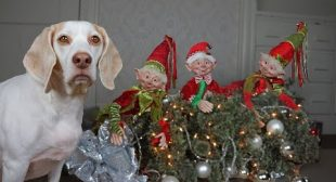 Dog Christmas Ruined by Evil Elves! Funny Dogs Maymo, Potpie & Penny