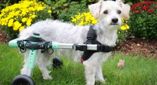 Creating Miracles in Motion with the Small Dog Wheelchair