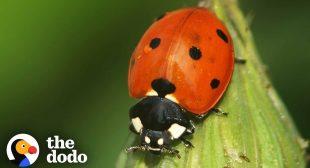 The Stunning Life Cycle Of A Ladybug   The Dodo
