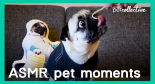 Best ASMR Pet Moments   The Pet Collective