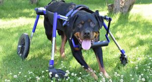 Wobbler Syndrome in Dogs