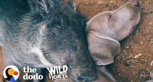 Warthog Is Obsessed With Her Dog Brother | The Dodo Wild Hearts