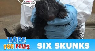 Baby skunks got stuck in a Jacuzzi – Hope For Paws reunites them with their mom!