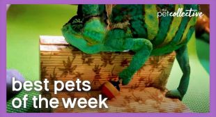 Is This The World's Coolest Chameleon? | Best Pets of the Week