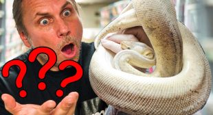 WHAT IS SHE?? MYSTERY BALL PYTHON LAID EGGS!! | BRIAN BARCZYK