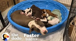 Fostering A Very Pregnant Pittie Is An Adventure | The Dodo Foster Diaries