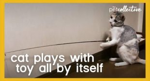 Cat Plays with Toy by Itself