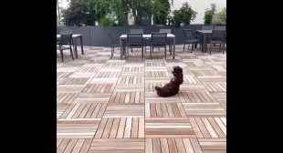 Cocker Spaniel Flops to Floor After Failing to Catch Ball Thrown by Owner