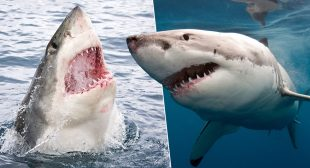 Four Great White Sharks Are Living In The Waters Off New York And New Jersey