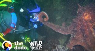 Guy Offers Hand to a Giant Octopus — You Won't Believe How He Reacts | The Dodo Wild Hearts